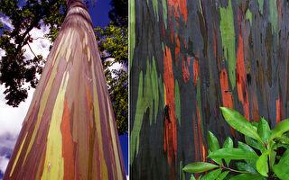 谁打翻了调色盘?世界十大奇树天然彩虹桉树