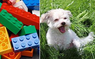 男童用樂高打造小輪椅 送給沒有前腳的萌犬