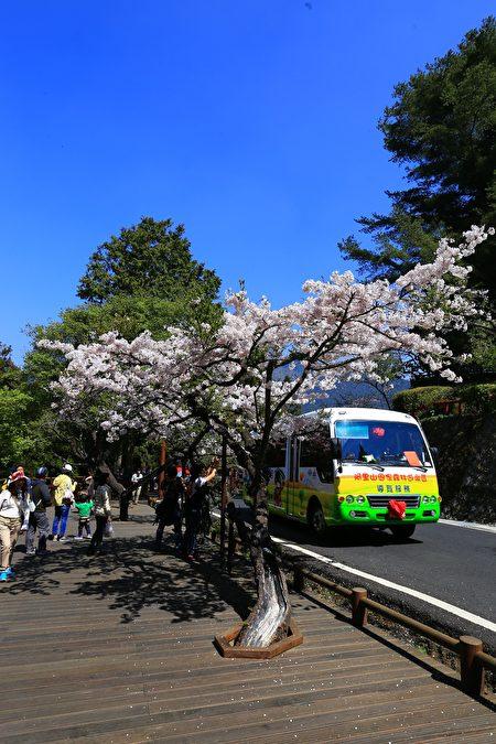 電動遊園車穿梭在吉野櫻下方。