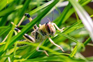 上天有眼下蝗蟲雨  蝗蟲侵襲也長眼睛?