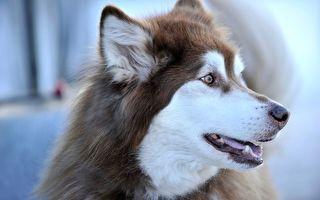俄罗斯忠狗 每天在外面待8小时等主人下班