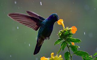 蜂鸟逆光飞行 呈现人眼看不到的彩虹般色彩