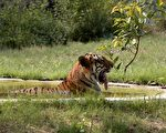 印度夫妇买35英亩土地 供野生老虎栖息