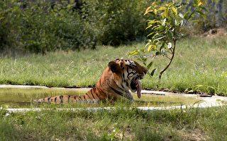 印度夫婦買35英畝土地 供野生老虎棲息