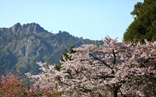 阿里山花季3/10登场 假日游客限量1.6万人