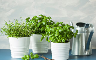 5種好栽種又好吃的香草植物 還能美化窗台