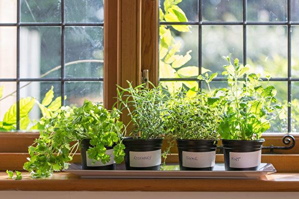 香草盆栽芳香迷人又好种 购买及栽种7原则