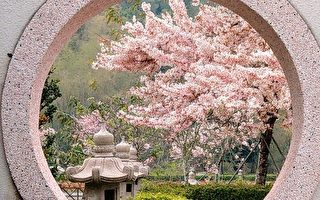 台湾花旗木盛开美不胜收 摄影师推荐赏花秘径