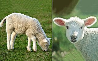 这只小羊是棕色的吗?洗完澡后像换了一只羊