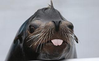澳洲水族馆关闭 海狮充当游客在馆内趴趴走