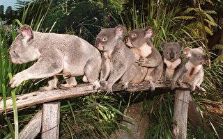 澳大利亚考拉数量3年内锐减约30%