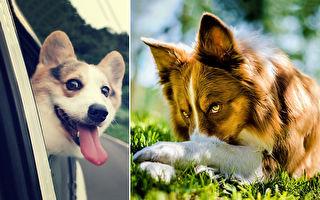 女王最爱的犬种 表情丰富的柯基在想什么呢?