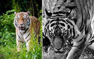"""全球少见 珍稀6岁""""黑老虎""""和白老虎相处融洽"""