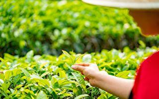 发现台茶叶有抗中共病毒成分 台医院登国际期刊