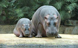在家上网逛美国动物园 看看可爱的小河马