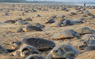 印度32萬海龜上岸產卵 學者:和封城無關
