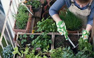 面對居家隔離 樂當城市農夫 (下):8種好收成的盆栽作物