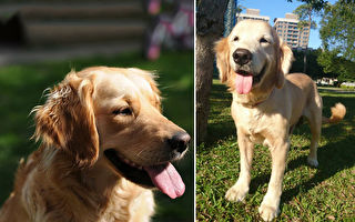 金毛寶寶是「導盲犬的導盲犬」 感動網友:超暖心