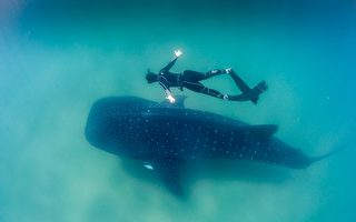 新研究用核武器鉴定鲸鲨年龄