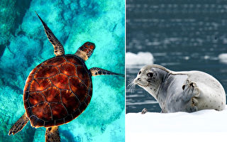 摄影师拍到不可思议照 海豹环抱大海龟:感情真好
