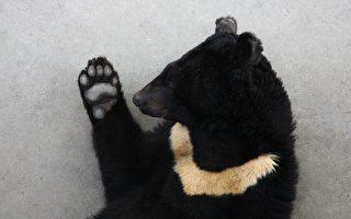 動物界的李小龍? 日本黑熊會耍三節棍