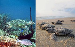巴西海摊净空 97只稀有小海龟成功孵化振奋人心