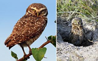 世界唯一地下筑巢猫头鹰 穴鸮帮农民抓老鼠换住屋