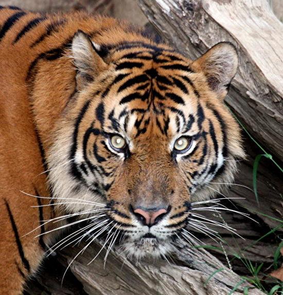 洛杉矶动物园疏离猫科动物 员工配防护