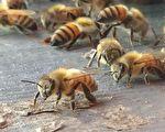 报告:蜜蜂较毒蛇对澳洲民众更具杀伤力