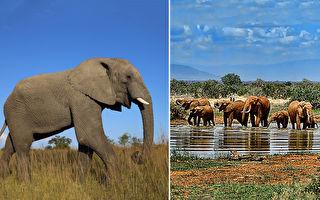 久违了故乡!大象因疫情停工 徒步150公里回家