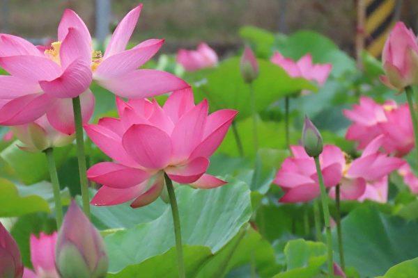 【视频】白河莲花节登场 莲花飘逸美如图画