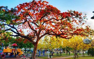 罕见 南台湾凤凰花阿勃勒盛开 红黄花毯吸睛