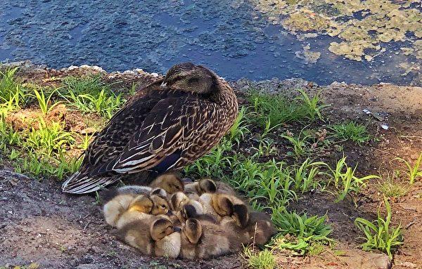 Richard Linn, duck