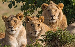 动物园演习猛兽脱逃实况 母狮看呆全程!