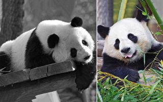 超萌熊猫爱抱抱 饲养员:陌生人勿近 它也是熊