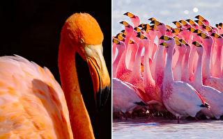 粉紅火鶴染紅湖泊 讓宅在家的孟買民眾興奮搶拍