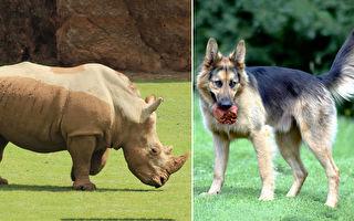 特种犬部队追捕盗猎 成功救下45头濒危犀牛
