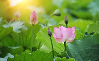 初夏荷花盛開 綠池賞花沾仙氣