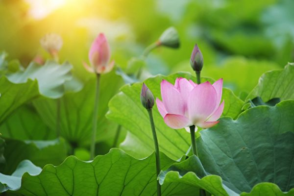 初夏荷花盛开 绿池赏花沾仙气