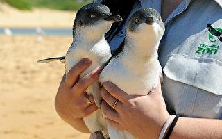 澳洲两只小企鹅互相依偎 暖人心房