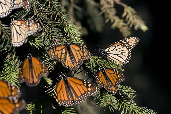 5億隻蝴蝶飛舞 蜂鳥大小的空拍機記錄美景