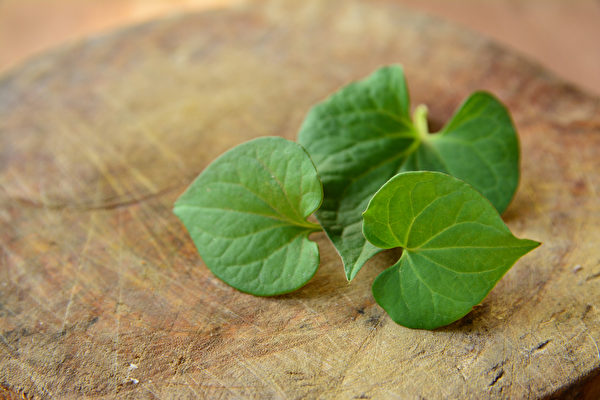 鱼腥草是常用的中药材,堪称天然抗生素,能抗菌消炎、清热解毒、消肿利尿。(Shutterstock)