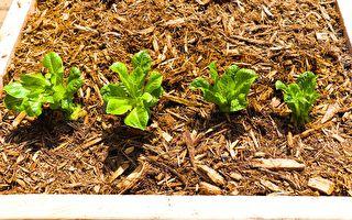 【美食天堂】在家采收罗马生菜~水和土都能种!