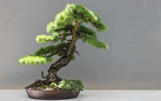 为什么日本盆栽价格高昂 动辄数十万美元?