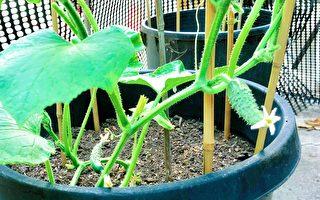 清脆爽口的小黃瓜種植方法