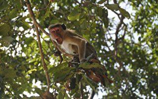 印度猴子搶走血液檢體 專家憂中共病毒擴散