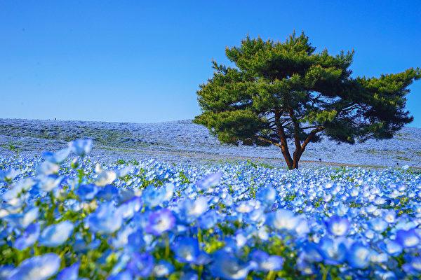 日本国家公园的粉蝶花盛开 形成蓝色花海