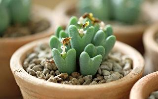 18种造型奇特的多肉植物 你见过几种?