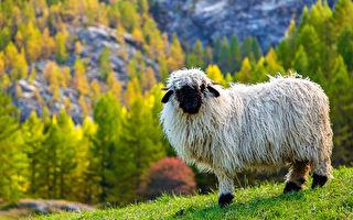 英女把黑臉綿羊當寵物養 朋友以為牠是小狗