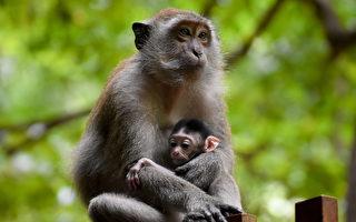 印度小猴子挂在电缆上 母猴空中救援
